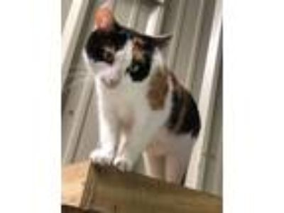 Adopt Pansie a Domestic Shorthair / Mixed (short coat) cat in St.