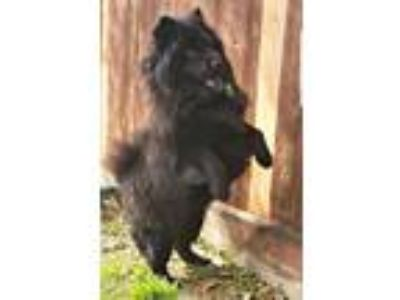 Adopt Tempe a Black Chow Chow / Mixed dog in Houston, TX (24490067)