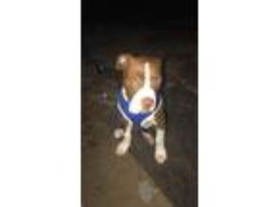 Adopt Barkley a Brown/Chocolate - with White American Pit Bull Terrier / Mixed