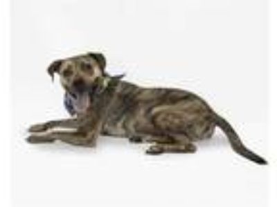 Adopt SOLDIER a Brindle - with White Hound (Unknown Type) / Mixed dog in