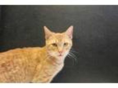Adopt MUNCH a Orange or Red Domestic Shorthair / Domestic Shorthair / Mixed cat