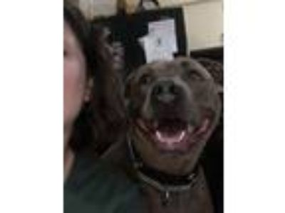 Adopt Carter a Brown/Chocolate American Pit Bull Terrier / Mixed dog in Taylor