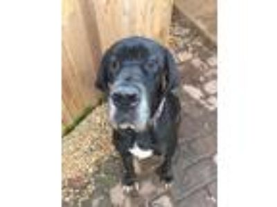Adopt Ben a Black Great Dane / Mixed dog in Manassas, VA (24570766)