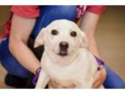 Adopt Rose a Labrador Retriever, Australian Cattle Dog / Blue Heeler