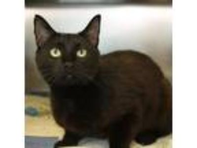 Adopt Stacys Mom a All Black Domestic Shorthair / Domestic Shorthair / Mixed cat