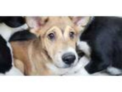Adopt SNEEZY a Brown/Chocolate - with White Labrador Retriever / Mixed dog in