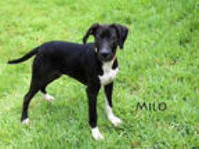 Adopt MILO a Black - with White American Pit Bull Terrier / Mixed dog in Fort