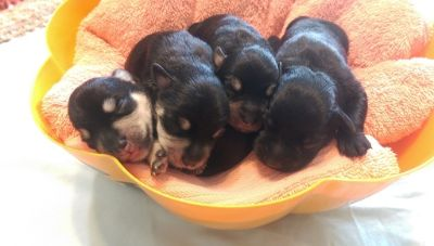 Schnauzer (Miniature) PUPPY FOR SALE ADN-108311 - Schnauzers Toy sized minis