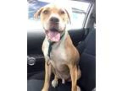 Adopt George a Tan/Yellow/Fawn - with White Labrador Retriever / Mixed dog in
