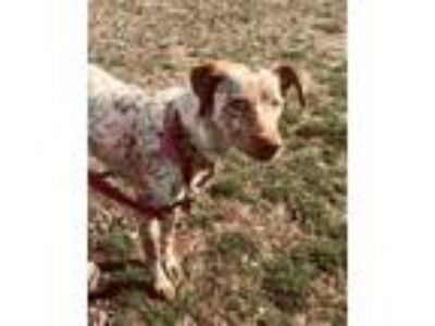 Adopt Nala a Australian Cattle Dog / Blue Heeler