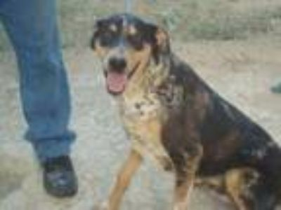 Adopt Mr. Big a Catahoula Leopard Dog, Australian Shepherd