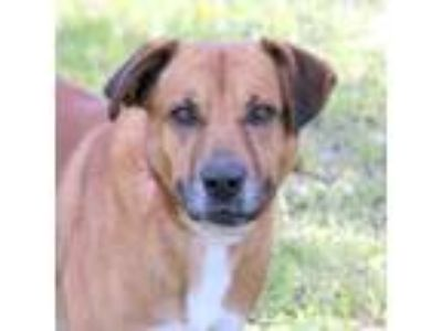 Adopt Indy a Red/Golden/Orange/Chestnut Retriever (Unknown Type) / Mixed dog in