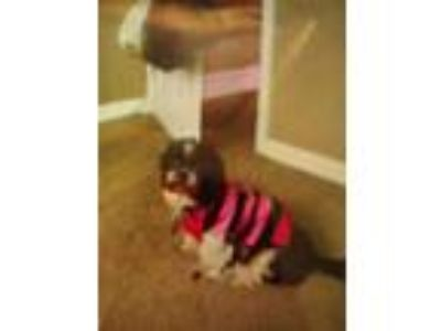 Adopt Diamond a Black - with White Shih Tzu dog in Camden, NJ (25335251)