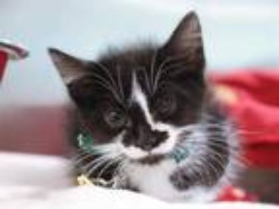 Adopt MICAH a Black & White or Tuxedo Domestic Shorthair / Mixed (short coat)