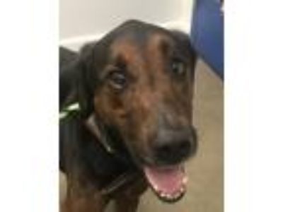 Adopt Jake a Doberman Pinscher / Golden Retriever / Mixed dog in Madison