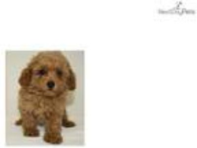 Simba Cute Toy Poodle Puppy for sale Bayside Flush
