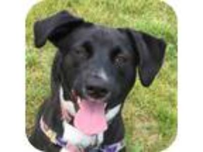 Adopt Ben a Labrador Retriever, Border Collie