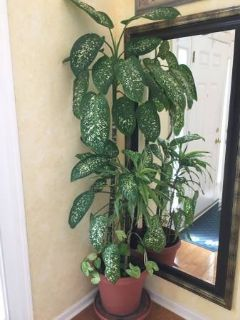 Tropical Green Live Plants, Approximately 5 feet tall