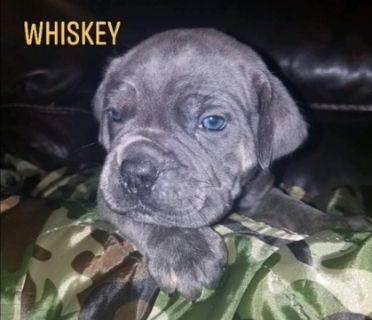 Cane Corso PUPPY FOR SALE ADN-87098 - Cane Corso puppy