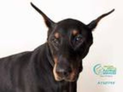 Adopt *TOBY a Black Doberman Pinscher / Mixed dog in Camarillo, CA (25443289)