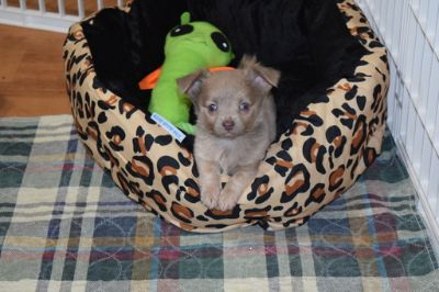Chihuahua PUPPY FOR SALE ADN-80749 - Maverick Lilac Long Coat Boy