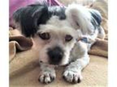 Adopt Sparky a Shih Tzu / Poodle (Standard) / Mixed dog in Lake Forest