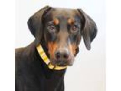 Adopt Reno a Black Doberman Pinscher / Mixed dog in Lansing, MI (25894993)