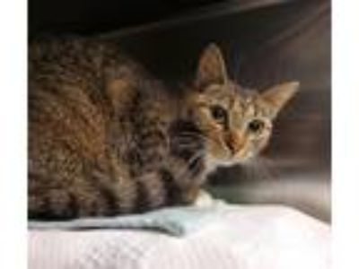 Adopt Gretchen a Domestic Shorthair / Mixed cat in Charlottesville