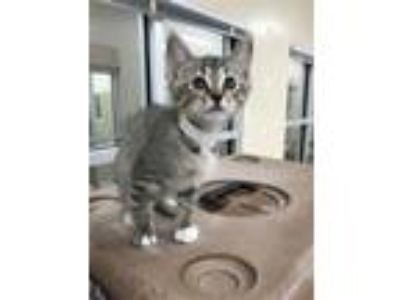 Adopt Florence a Bengal, Domestic Short Hair