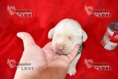 Labrador Retriever PUPPY FOR SALE ADN-98596 - AKC  FULL REGISTRATION