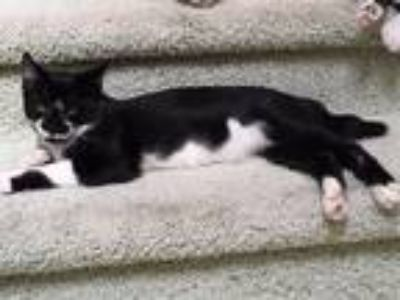 Adopt Bandit a Black & White or Tuxedo Domestic Shorthair / Mixed cat in Battle