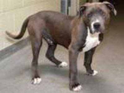 Adopt XANDER a Gray/Silver/Salt & Pepper - with White American Pit Bull Terrier