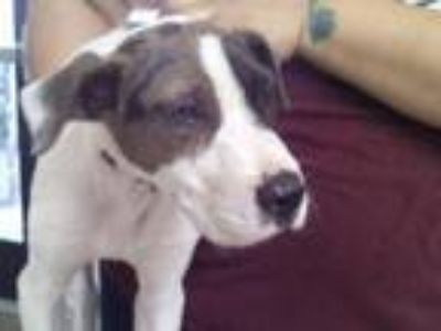 Adopt ADOPTED a White Catahoula Leopard Dog / Mixed dog in Fort Worth