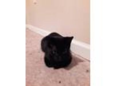 Adopt Sassy a All Black American Shorthair cat in Atoka, TN (24783173)