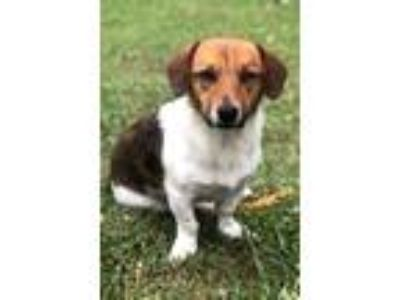 Adopt Lego a Red/Golden/Orange/Chestnut - with White Jack Russell Terrier /