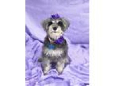 Adopt Adorable Ava-ADOPT Me! a Gray/Silver/Salt & Pepper - with White Miniature