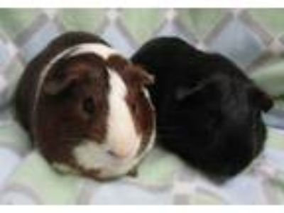 Adopt Paulie a Guinea Pig, Short-Haired