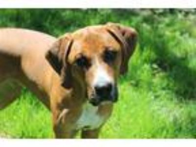 Adopt Paris a Hound (Unknown Type) / Mixed dog in Madison, NJ (25301497)