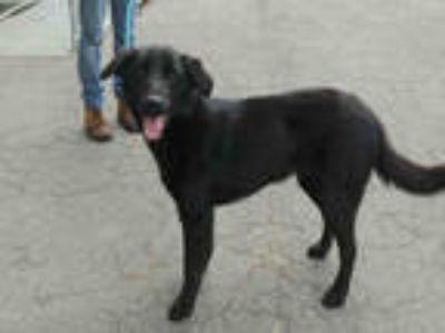 Adopt JET a Black - with White Labrador Retriever / Mixed dog in Atlanta
