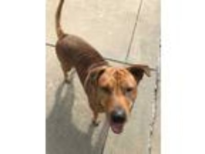 Adopt KODA a Red/Golden/Orange/Chestnut Labrador Retriever / Mixed dog in