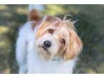 Adopt Flynn a White Terrier (Unknown Type, Small) / Schnauzer (Standard) / Mixed