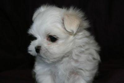 Maltese PUPPY FOR SALE ADN-108944 - Maltese Male Puppy