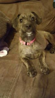 Female Schnauzer Mix