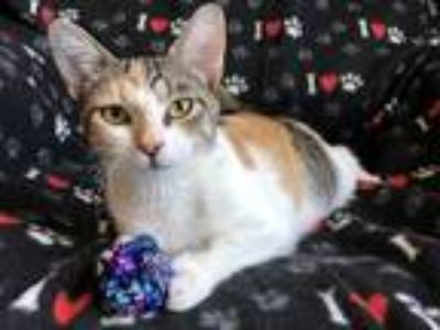 Adopt Bailey a Domestic Shorthair / Mixed (short coat) cat in Valley Park
