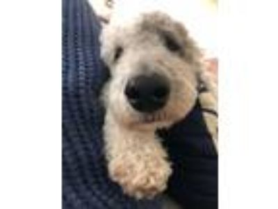 Adopt Woody a White - with Gray or Silver Labradoodle dog in Palatine