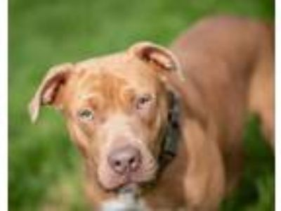 Adopt Chiquita a Pit Bull Terrier