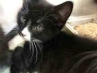 Adopt SPERRY a Domestic Short Hair