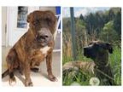 Adopt Do-Si-Do a Brindle Pit Bull Terrier / Mixed Breed (Medium) / Mixed dog in