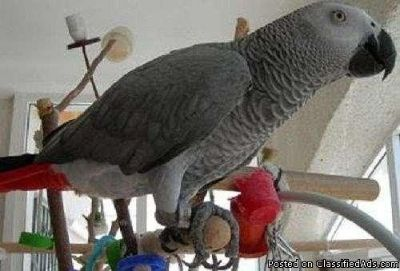 Talking African grey PARROT FOR SALE.