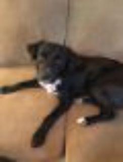 Bud Setter - Labrador Retriever Dog